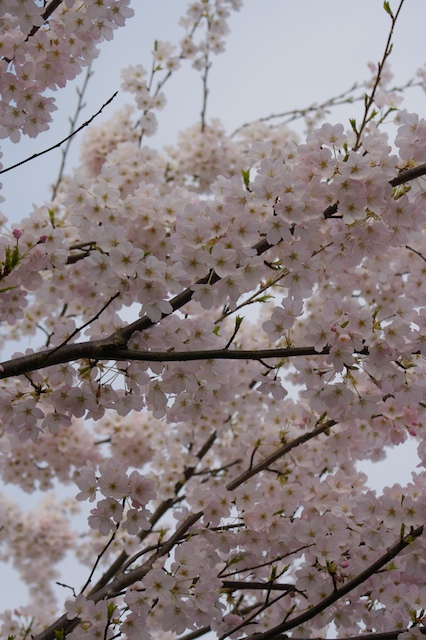 The Cherry trees are in bloom all over Vancouver right now. They are breath taking!
